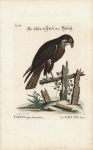Falcon Niger, Americanus : Le Faucon Noir. : Tab. VII.