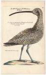 Der grosse Krumschnceblichte Schncepf oder Keilhacke, Rusticula arcuata, l: Arquata, Le Courlieu.
